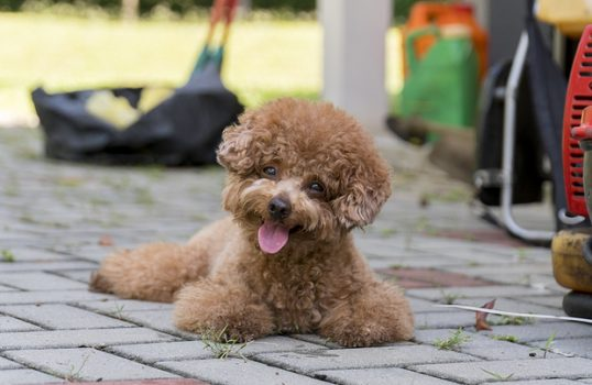 Poodle Grooming - A Guide To How To Groom A Poodle