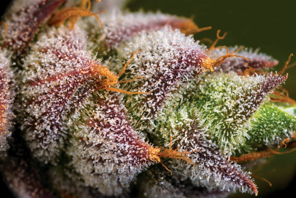 Every Little Thing You Required To Learn About RARE DANKNESS SEEDS